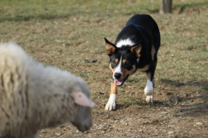 will_border_collie_smooth